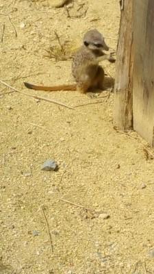 Un des bebes suricates