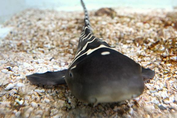 requin_zebre