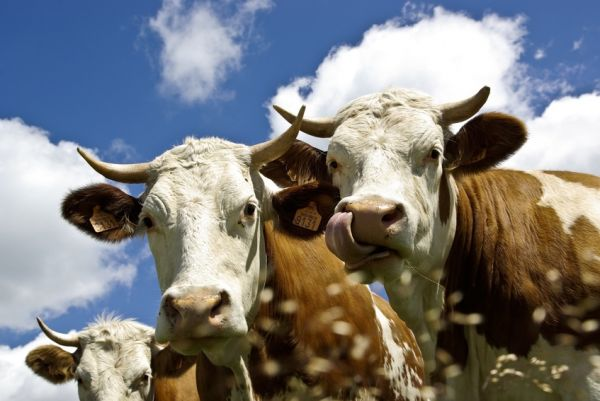 vaches