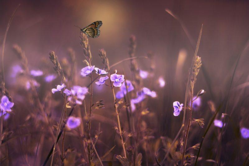 Des parfums à la violette