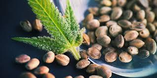 des graines de cannabis