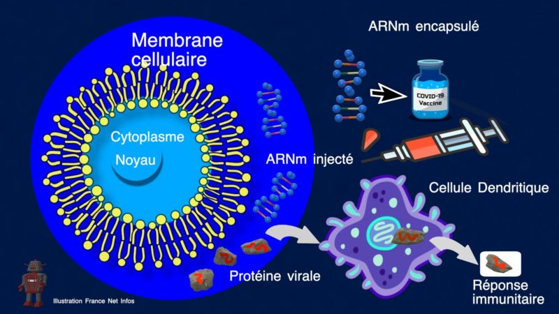 L'ARM M le vaccin du futur