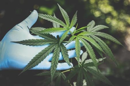 Tout savoir sur le cannabis skunk